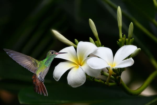 Hummingbird and Plumeria