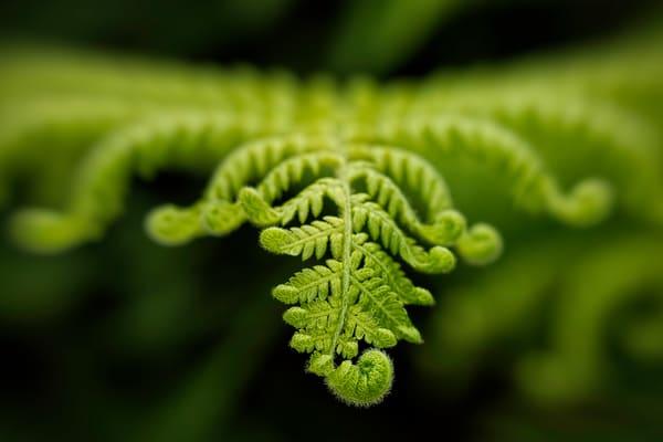 fiddle leaf ferns up close