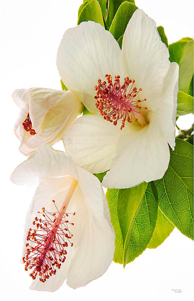 White Hibiscus Flowers Photography Art | Inspiring Images