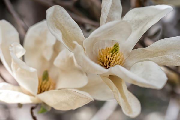 white flowers, magnolia flowers, textures flowers,