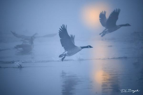 Canada Goose 012