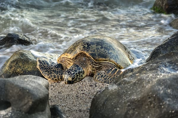 Hawaii Photography | Honu Sandy Bed by Peter Tang