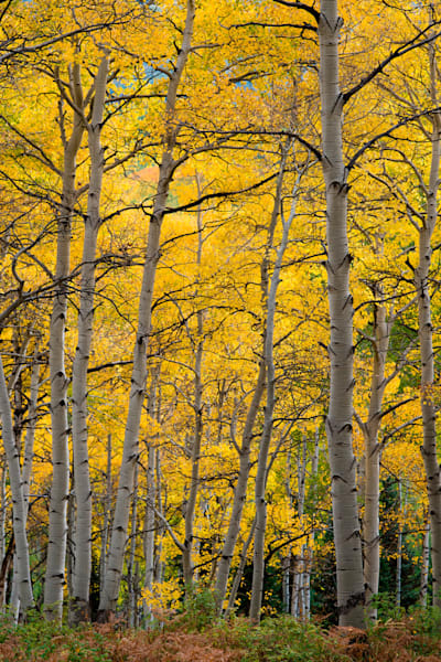 Casey Chinn Photography - Custom metal fine art photographs of golden aspens and deep green rainforests.