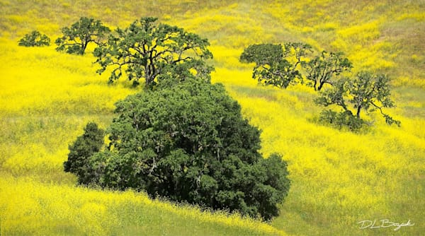 Coastal Live Oak and Wild Mustard