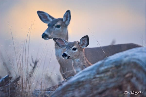 Mule Deer Doe and Fawn