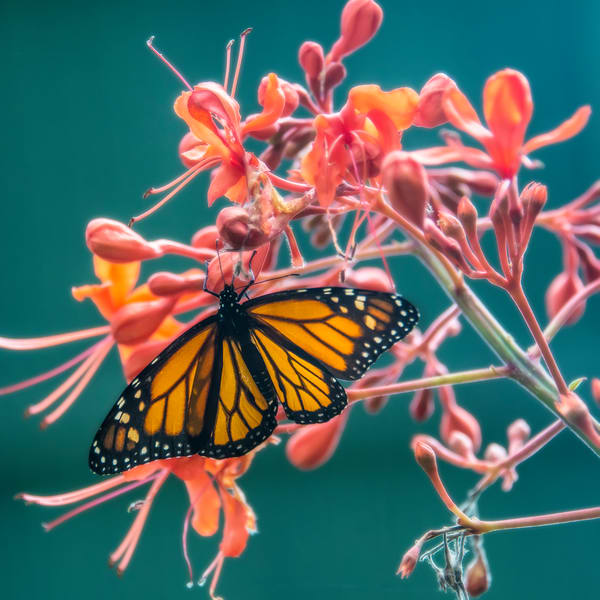 The monarch butterfly or simply monarch (Danaus plexippus). Other common names depending on region include milkweed, common tiger, wanderer, and black veined brown.
