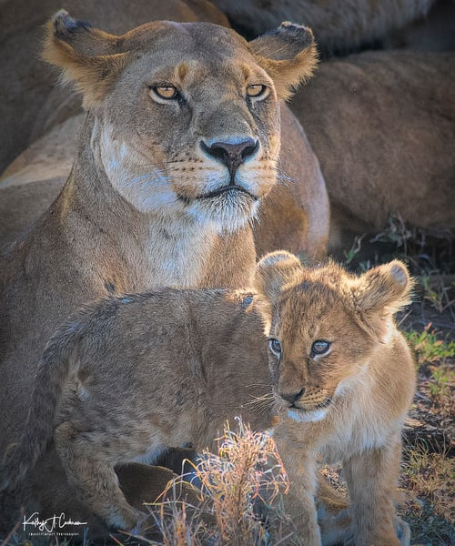 Lioness And Cub Photography Art | Images2Impact