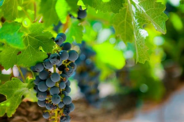 Grapes on the Vine Napa