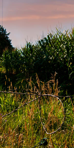 Barbed Wire and Corn