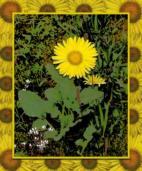 Swiss Sunflower print of photograph transformed into digital art for sale by Maureen Wilks