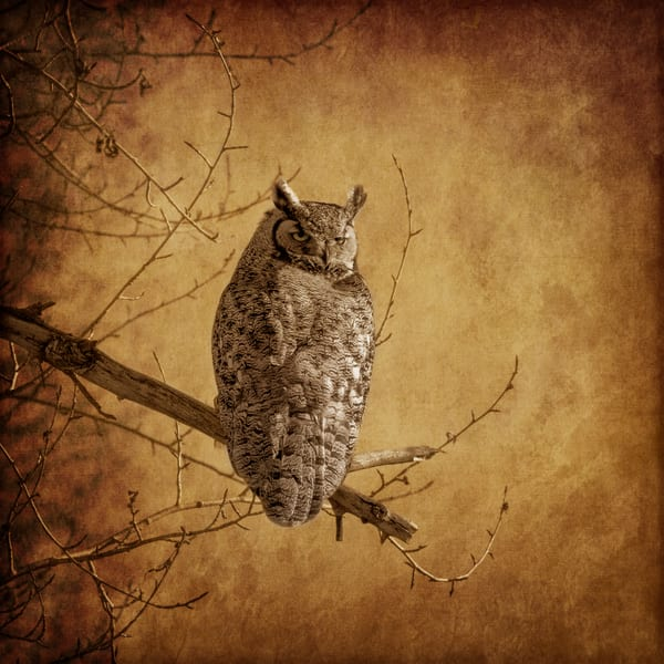 Great Horned Owl sits upon a branch, waiting for lunch to be spotted.