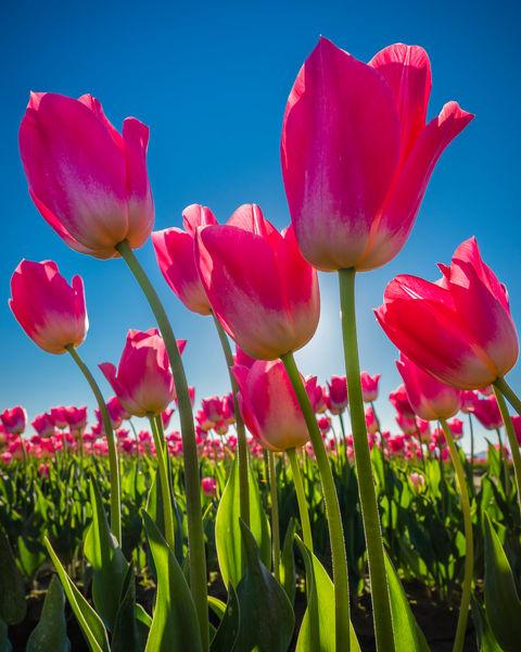 Skagit Tulips-0285