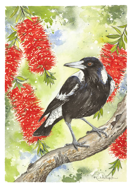 Magpie and Callistemon