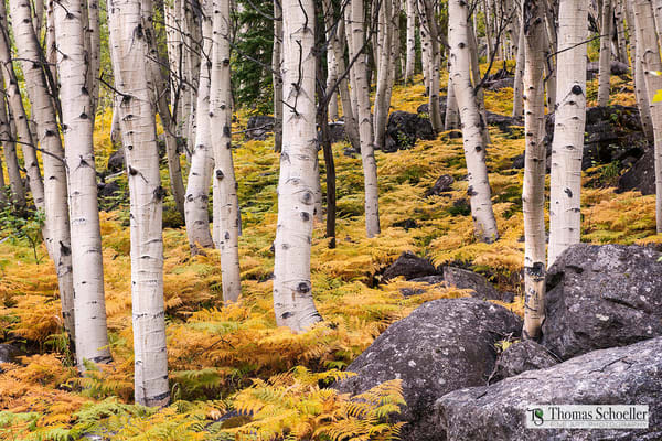 Autumn arrives early in the Rocky Mountains/A Fine Art photograph of Aspen trunks and golden ferns