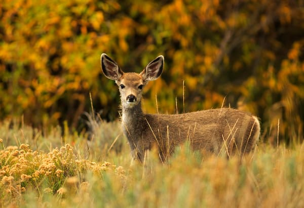Autumn Innocence Mule Deer Fawn Art Prints