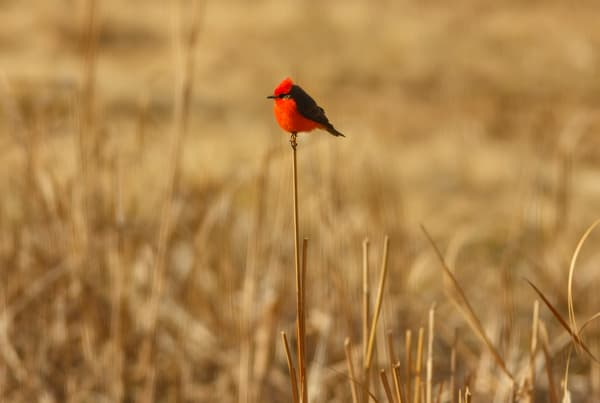 Red Vermilion Flycatcher Bird Art Prints