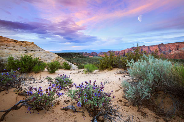 Snow Canyon Desert Sunrise Wildflowers Art Prints