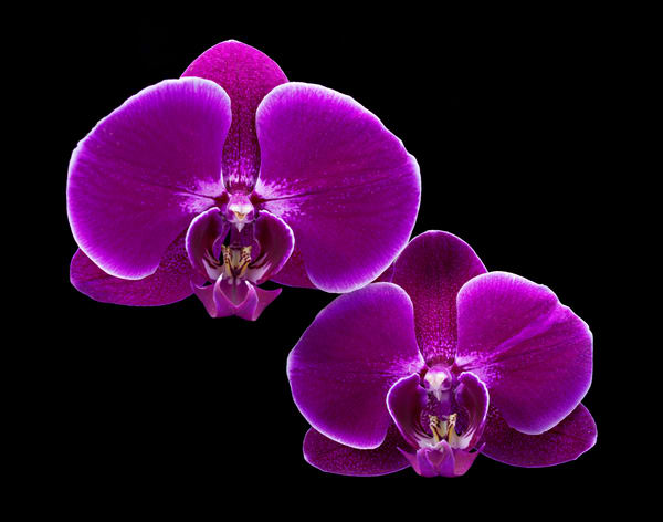 Two Orchids 1-Edit-Edit