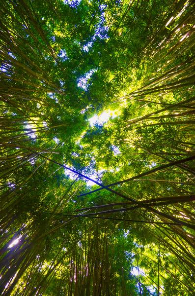 Maui Bamboo 004