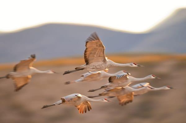 Crane Flock In Flight  Photography Art by cbpphoto