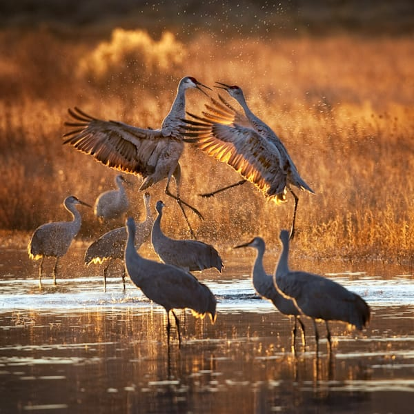 Crane Spat   Photography Art   Carol Brooks Parker Fine Art Photography