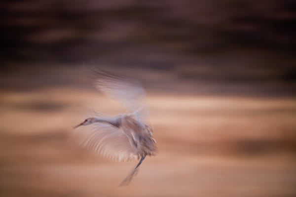 Wingbeats Solo   Photography Art   Carol Brooks Parker Fine. Art Photography