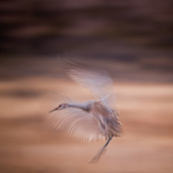 Wingbeats Solo   Photography Art by cbpphoto