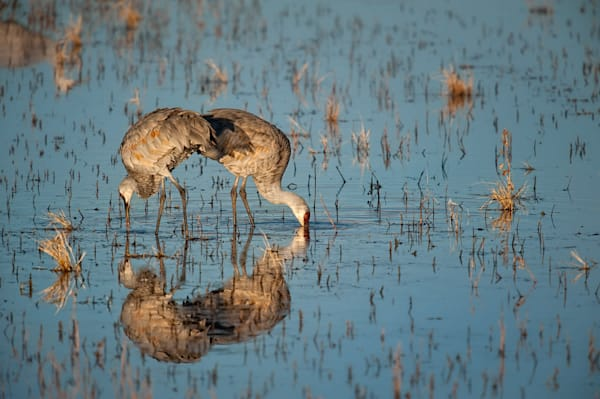 Reflected Cranes   Photography Art by cbpphoto