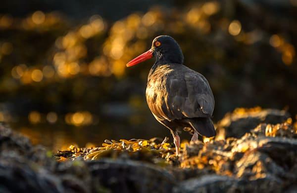Oystercatcher At Sunset  Photography Art | Carol Brooks Parker Fine Art Photography