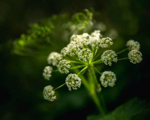Queen Anne's Lace  Photography Art by cbpphoto