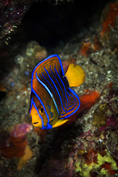 Juvenile King Angelfish