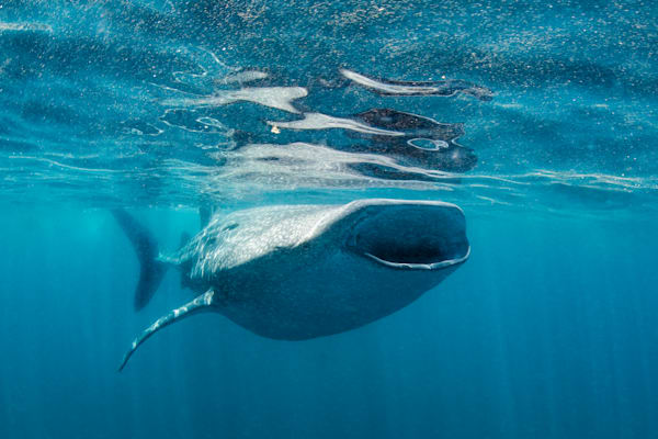 Feeding Whale Shark Photography Art | Art in Nature