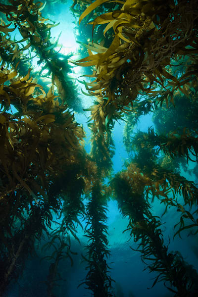 Majestic Kelp Forest Photography Art | Art in Nature