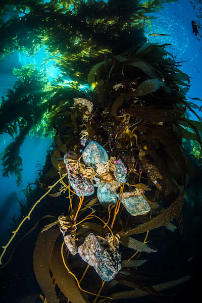 Suspended Kelp Holdfast Photography Art | Art in Nature