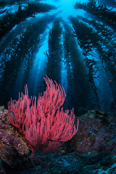 Gorgonian and Kelp
