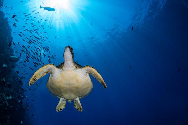 Turtle and Sunburst