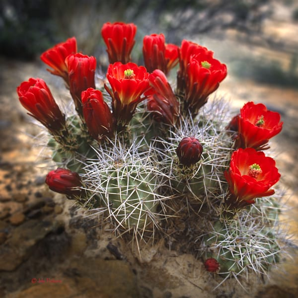 Claret Cup Cactus in blossom
