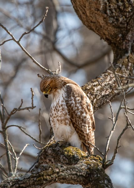 A pondering red tail hawk - fine art photography - JP Sullivan Inc