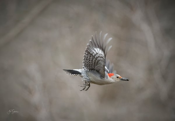 Red Bellied Woodpecker in Flight - Fine art photography - JP Sullivan Photography Inc