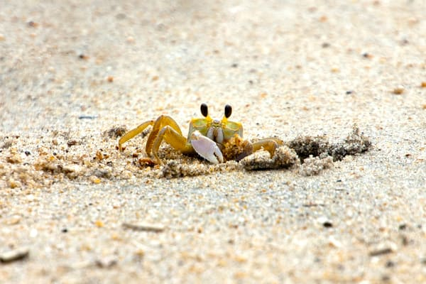 Crab on Kitty Hawk Beach OBX