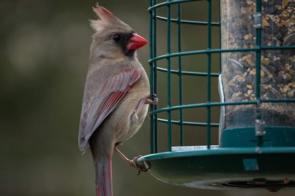 Female Cardinal on bird feeder up close and personal by Steven Archdeacon.