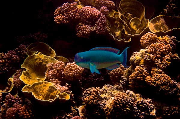 Parrotfish in Coral