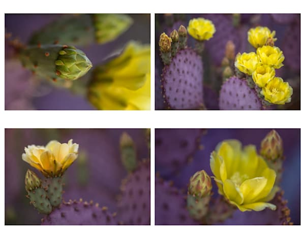 Folio - Prickly Pear Blooms