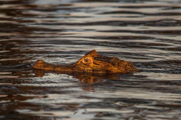 Cayman's head in water