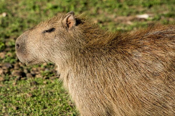 Capybara closeup profile
