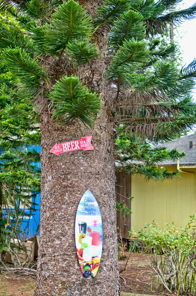 Cook Island Pine on Lanai