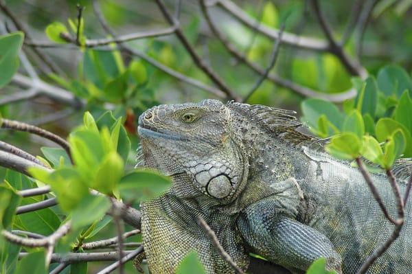 Green Iguana Photography Art | Swan Valley Photo