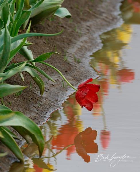 tulips-woodburn-16