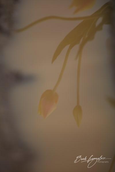 tulips-woodburn-15