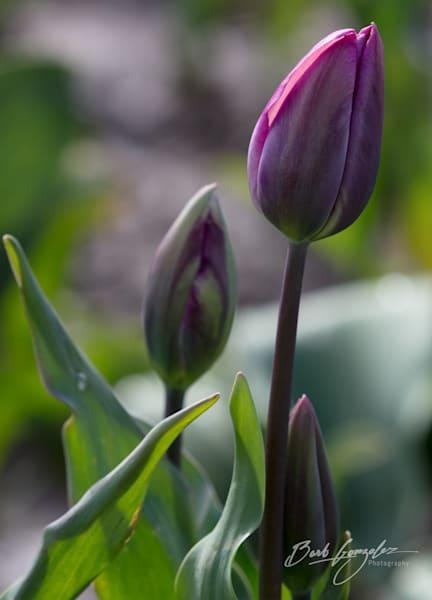 tulips-woodburn-10